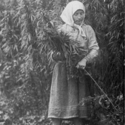cannabis_harvesting_ussr_1956